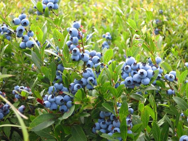 Wild_blueberries_3